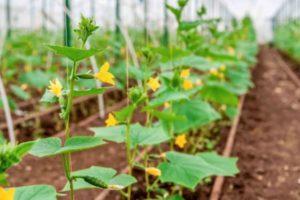 Почему у тыквы желтеют, опадают и гниют завязи в открытом грунте и что с этим делать
