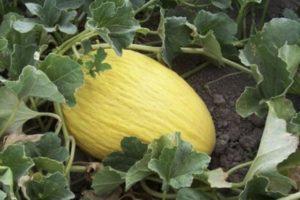 Почему в открытом грунте у дыни желтеют листья, как лечить и что делать