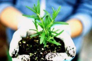 Как размножить розмарин черенками и вырастить в домашних условиях