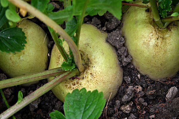 Плоды редиса