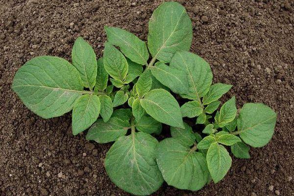 росток картошки