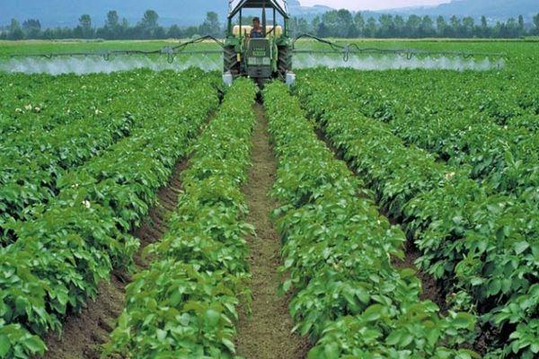 Сеникация картофеля
