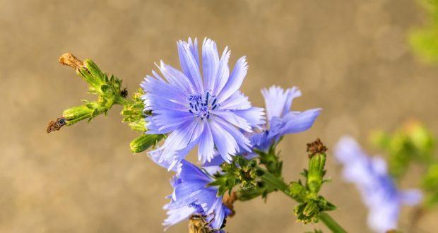 цветок цикорий