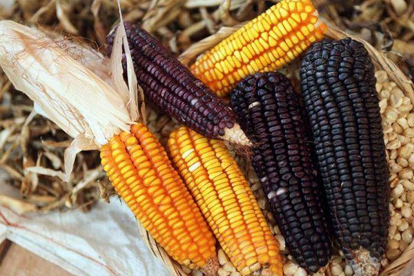 разная кукуруза