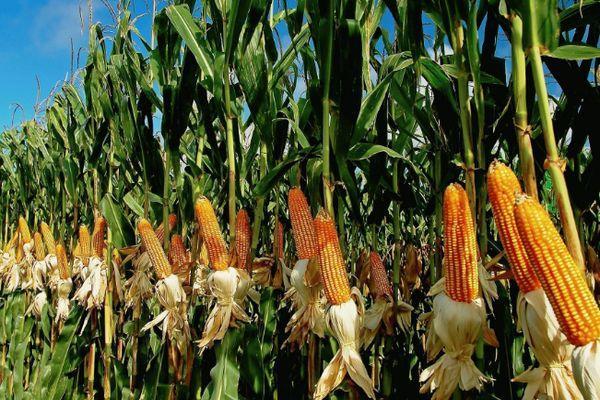 Ранняя кукуруза