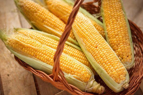 кукуруза Максалия
