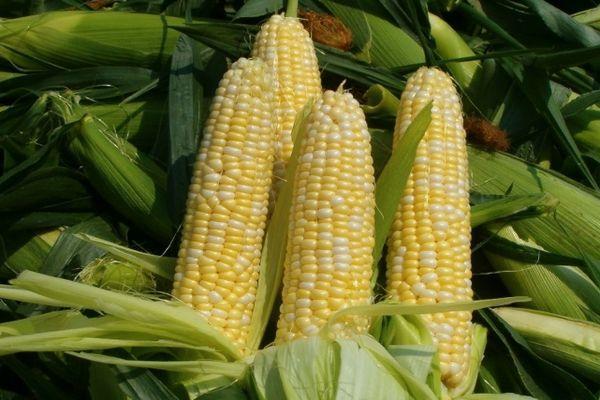 Зерновая культура