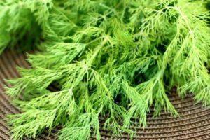 Как выбрать лучшие сорта укропа на зелень без зонтиков для выращивания в открытом грунте и теплице