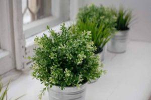 Как вырастить тимьян из семян и черенков в домашних условиях в горшке, уход за растением на подоконнике