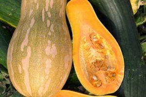 Описание сортов кустовой тыквы, их выращивание, посадка и уход