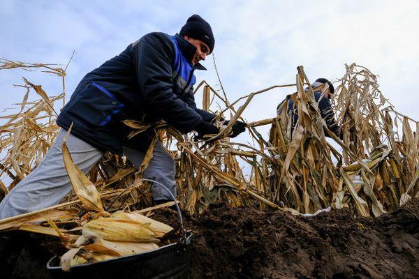 Сбор початков кукурузы