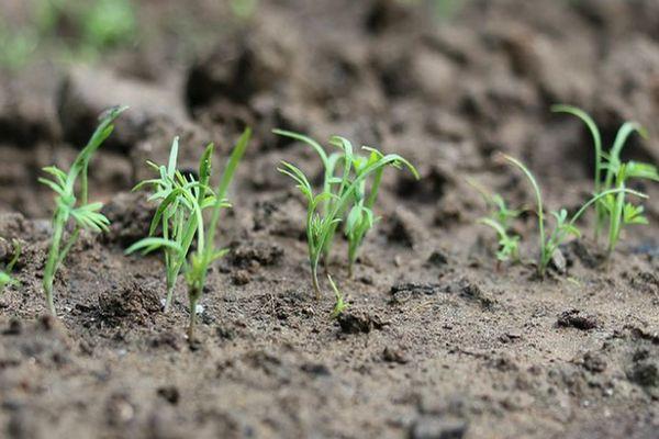 ростки укропа