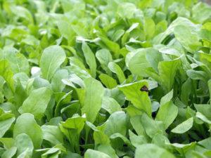Описание сортов многолетней рукколы для открытого грунта и особенности выращивания