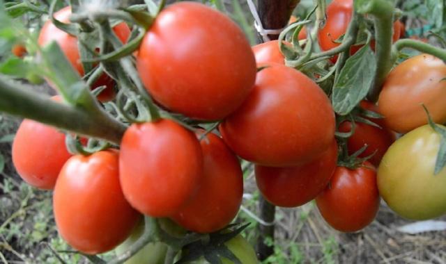 лучшие помидоры на 2019