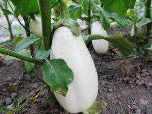Описание лучших сортов баклажанов для выращивания в Подмосковье в теплицах и открытом грунте