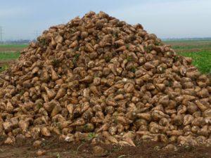 Описание кормовой свеклы и отличие ее от сахарной, особенности посадки и выращивания