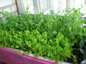 Как вырастить щавель на подоконнике, подготовить емкости и семена, посадить и ухаживать за растением