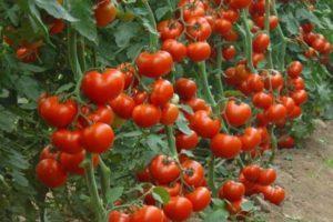 Описание новинок лучших томатов 2020 года, урожайные сорта для теплицы и открытого грунта