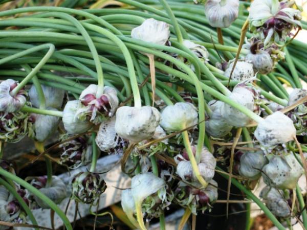 Досушивание бульбочек чеснока перед посадкой