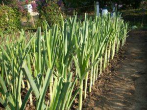 Описание сортов лука порея и особенности выращивания и уходи в открытом грунте