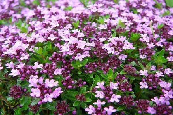 Пурпурно-фиолетовый тимьян