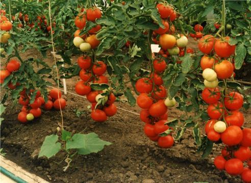 помидорыВологда