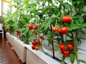 Пошаговая технология выращивания помидоров на балконе, лучшие сорта с описанием