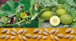 Как вырастить дыню в открытом грунте, сроки высадки рассады, полив и уход