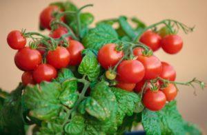 Описание и характеристики самых лучших сортов томатов для Урала в открытом грунте