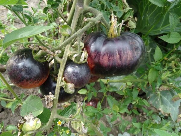 помидоры Аметист