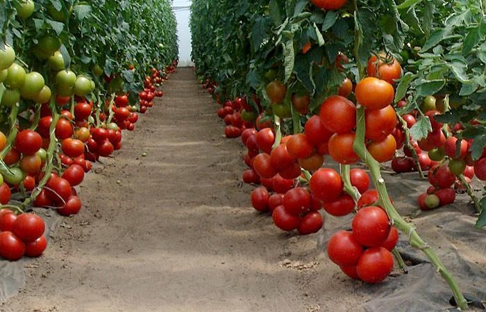 томат бобкат