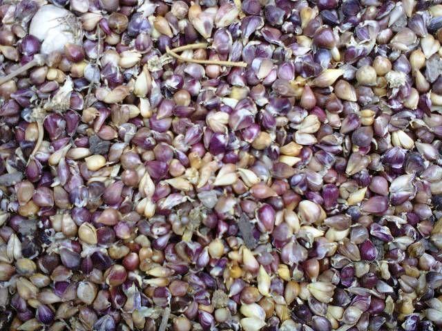 семя чеснока