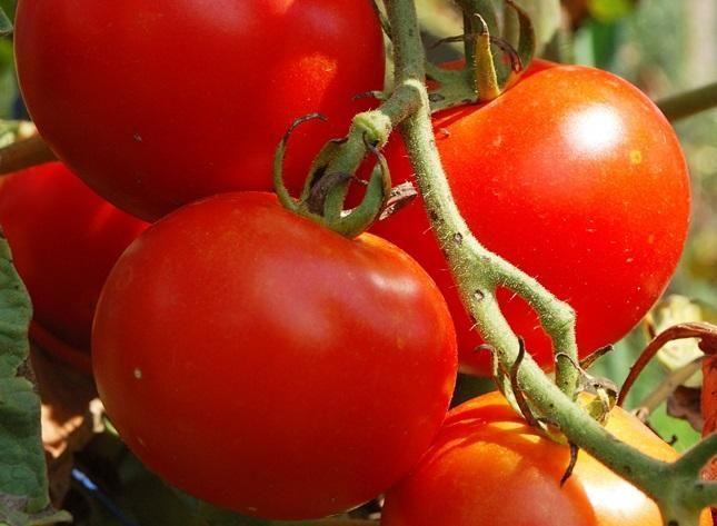 Огородник томат