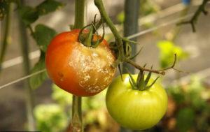 Как бороться с фитофторой на помидорах, описание и лечение болезни