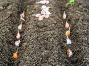 Технология выращивания чеснока в открытом грунте и сроки посадки, правила ухода, чтобы был хороший урожай