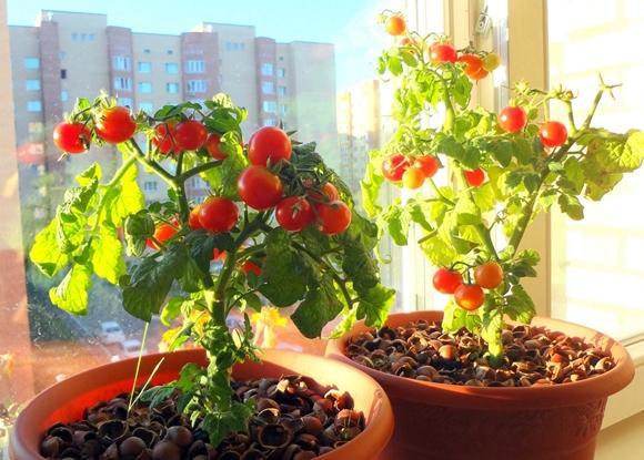 помидоры на балконеБалеринка