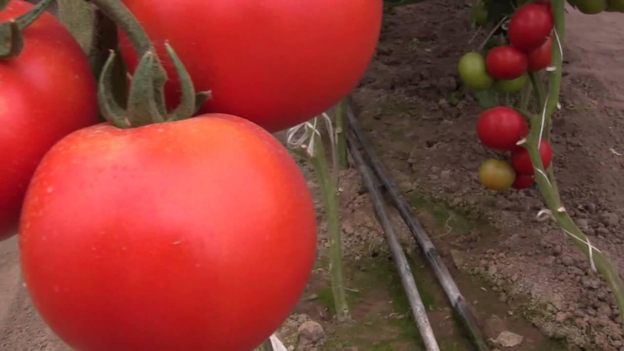 помидоры Аламина F1