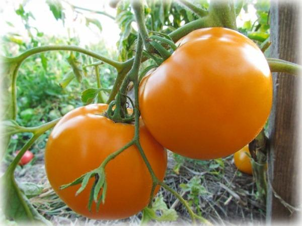 помидоры Оранж