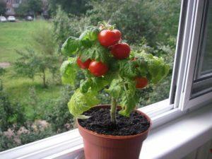 Выбор сорта помидоров для выращивания на подоконнике, правила посева и ухода для начинающих