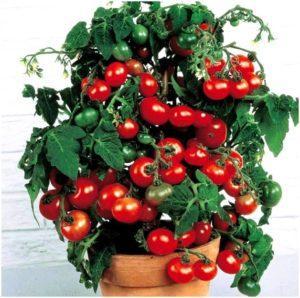 Описание и характеристики помидоров Балконное чудо, выращивание в домашних условиях