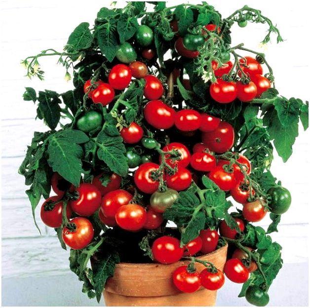 томат балконное чудо