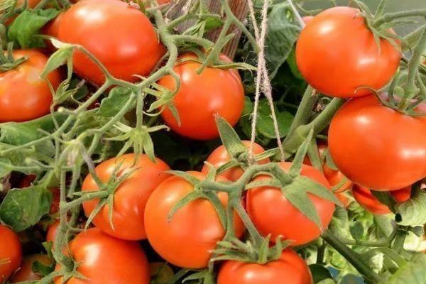 Альфа томат