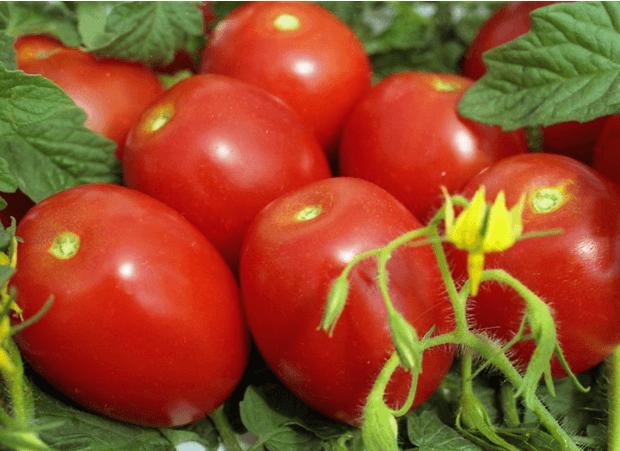 томат челнок