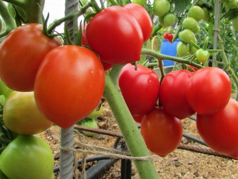 томат буденовка