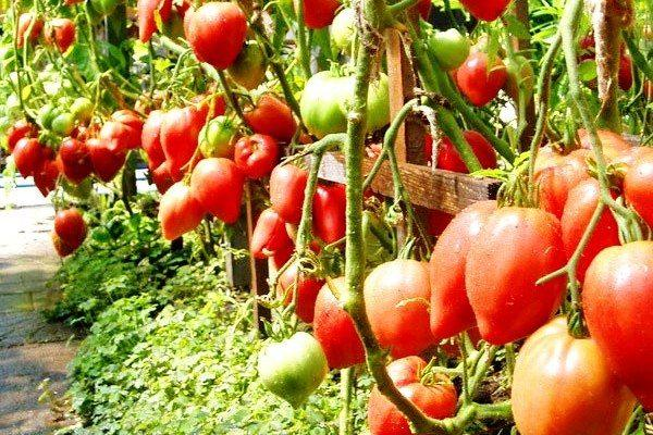 томат Чудо Земли