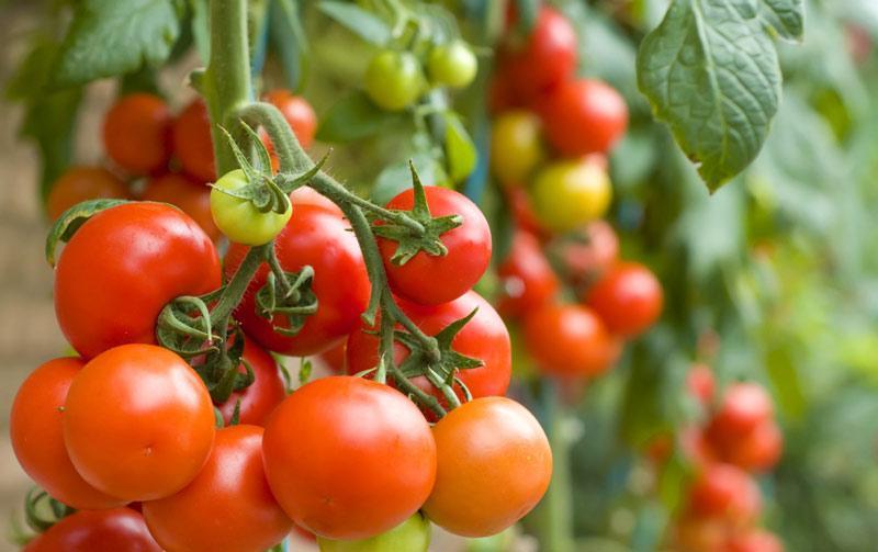 томат клуша