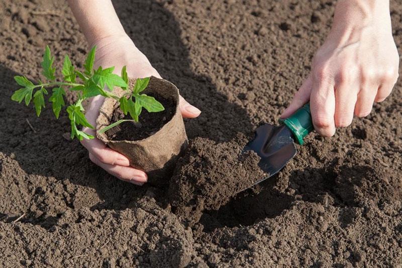 Подготовка почвы в теплице под помидоры весной