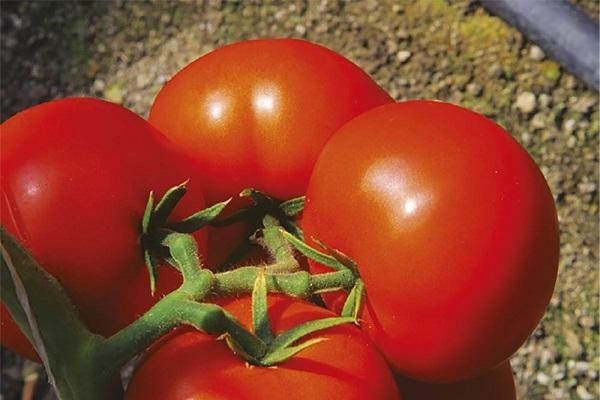 Альгамбра томат