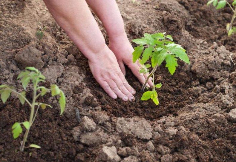 Посев Челнока на рассаду