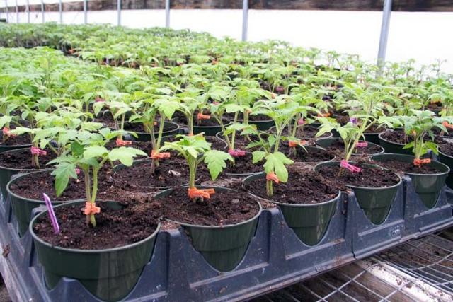 китайский способ выращивания томатов